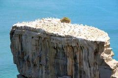 Колония Gannet на пункте Otakamiro, пляже Muriwai, Новой Зеландии, Окленде Стоковое Изображение RF