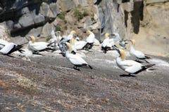 Колония Gannet на пункте Otakamiro, пляже Muriwai, Новой Зеландии, Окленде Стоковое Изображение