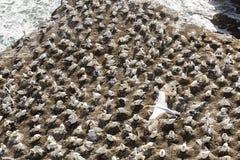 Колония Gannet Стоковое фото RF