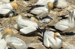 Колония gannet Muriwai - Новая Зеландия Стоковые Изображения RF