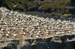 Колония gannet Muriwai - Новая Зеландия Стоковое Изображение RF
