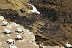 Колония gannet Muriwai - Новая Зеландия Стоковые Фотографии RF