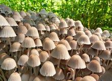 Колония toadstools грибов Стоковые Изображения