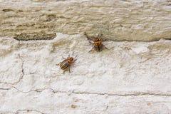 Колорадо striped жук на винтажной стене Этот жук se Стоковые Изображения RF
