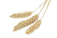 3 колоска пшеницы на светлой предпосылке Стоковые Фотографии RF