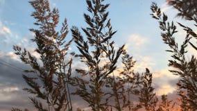 Колоски двигают от теплого ветра лета на заходе солнца акции видеоматериалы