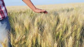 Колоски пшеницы мужской руки касающие сток-видео