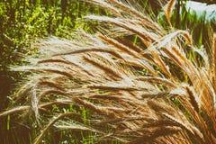 Колоски пшеницы Сожмите природу, поле, земледелие, жизнь фермы Стоковое фото RF