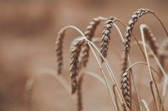 Колоски пшеницы сушат стоковое изображение