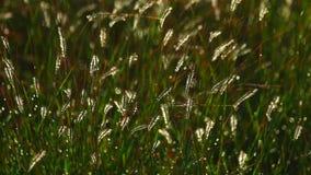 Колоски травы видеоматериал
