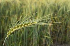 Колосок пшеницы зеленый Стоковое Изображение RF