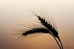 Колосок пшеницы Стоковые Изображения RF