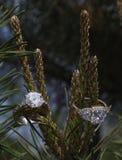 Кольца с бриллиантом установленные на сосну Стоковое фото RF