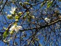 Кольцо вишни Стоковые Фотографии RF