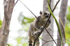 Кольцо младенца замкнуло лемура на ветви в Мадагаскаре стоковые фотографии rf