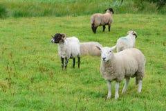 Кольцо овец Керри Стоковые Изображения RF