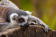 кольцо lemur замкнуло Стоковое Изображение RF