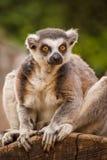 кольцо lemur замкнуло Стоковые Изображения