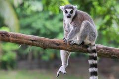 кольцо lemur catta замкнуло Стоковая Фотография