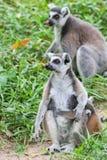 кольцо lemur catta замкнуло Стоковое Изображение RF