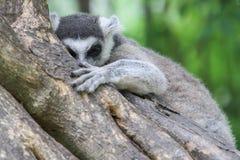 кольцо lemur catta замкнуло Стоковое Изображение