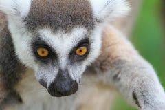 кольцо lemur catta замкнуло Стоковые Изображения