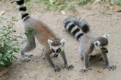 кольцо lemur catta замкнуло Стоковое фото RF