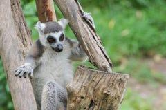 кольцо lemur catta замкнуло Стоковое Фото