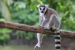 кольцо lemur catta замкнуло Стоковая Фотография RF