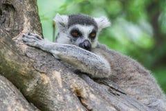 кольцо lemur catta замкнуло Стоковые Изображения RF