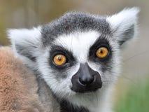 кольцо lemur catta замкнуло Стоковые Фотографии RF