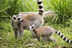 кольцо lemurs замкнуло 2 Стоковое Изображение RF