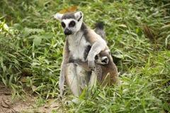 кольцо lemurs замкнуло 2 Стоковые Фотографии RF