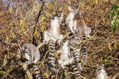 Кольц-замкнутое catta лемура лемура, группа в дереве Стоковые Фото