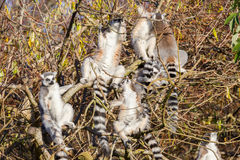Кольц-замкнутое catta лемура лемура, группа в дереве Стоковое фото RF