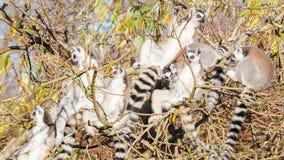 Кольц-замкнутое catta лемура лемура, группа в дереве Стоковая Фотография