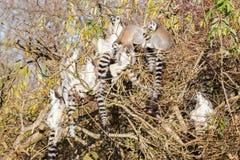Кольц-замкнутое catta лемура лемура, группа в дереве Стоковые Изображения RF