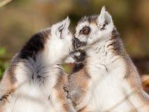 Кольц-замкнутое catta лемура лемура, пара Стоковые Фото