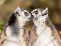 Кольц-замкнутое catta лемура лемура, пара Стоковое Фото