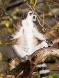 Кольц-замкнутое catta лемура лемура Стоковое Фото