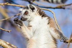 Кольц-замкнутое catta лемура лемура Стоковая Фотография RF