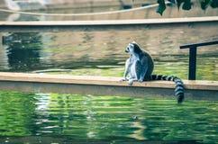 Кольц-замкнутое catta лемура лемура Стоковые Фото