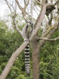 Кольц-замкнутый лемур на дереве Стоковое Фото