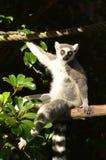 Кольц-замкнутый лемур сидит на ветви дерева Стоковое Изображение RF