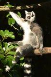 Кольц-замкнутый лемур сидит на ветви дерева Стоковые Фото