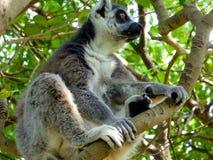 Кольц-замкнутый лемур сидя на дереве Стоковые Фото