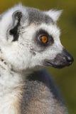 Кольц-замкнутый лемур (catta лемура) Стоковое Изображение