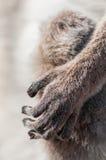 Кольц-замкнутый крупный план руки лемура Стоковая Фотография