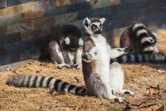 Кольц-замкнутый Lemur Стоковая Фотография