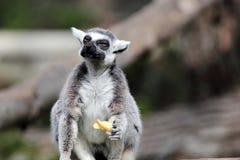 Кольц-замкнутый lemur (catta Lemur) есть плодоовощ Стоковое Изображение